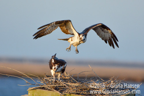Hansen-Ospreys-Mar2016-4
