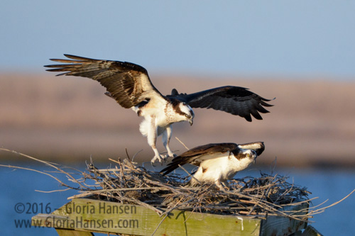 Hansen-Ospreys-Mar2016-5