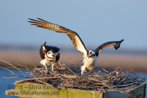 Hansen-Ospreys-Mar2016-7