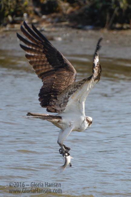 Osprey-Fish-Hansen
