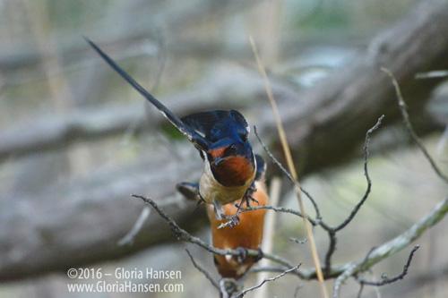 Blue-orangeBird_GLO7346-FB