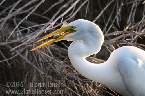 Egret-Fish_GLO9983-FB