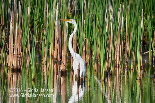 Egret-in-Grass_GLO8922-FB