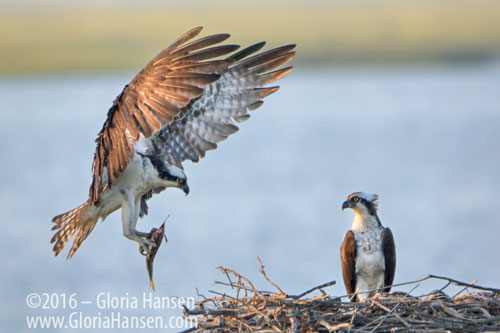 Ospreys-with-Dinner_GLO0068-FB