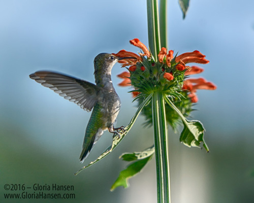 Hummingbird_GLO6647-FB
