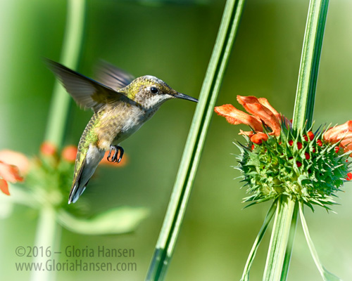 Hummingbird_GLO6764-FB